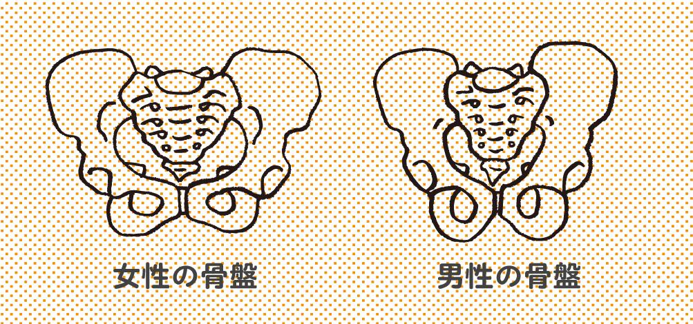 女性と男性の骨盤の違い